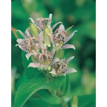 JOHNSONS Lilie HIRTA TOAD LILY 22971